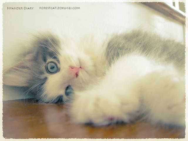 頭をこてんとする子猫 ノルウェージャンフォレストキャット