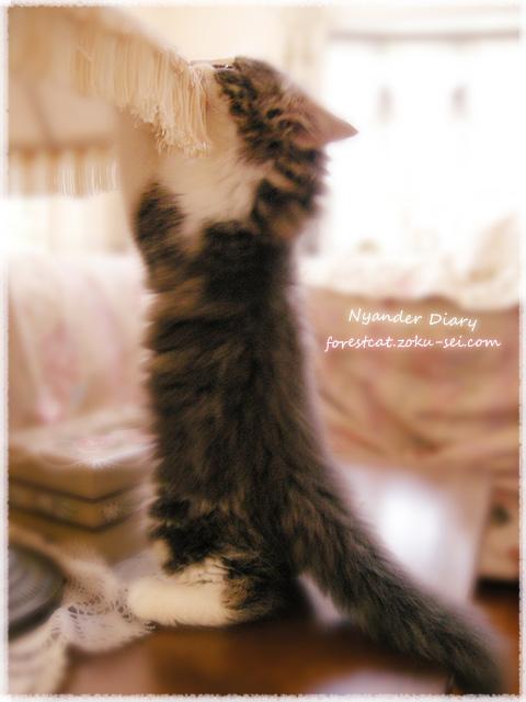 いたずら子猫 ノルウェージャンフォレストキャット