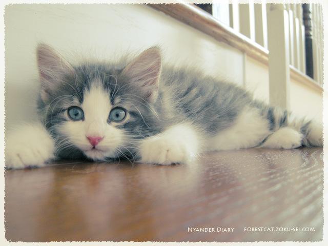 ふせの姿勢を取る子猫 ノルウェージャンフォレストキャット