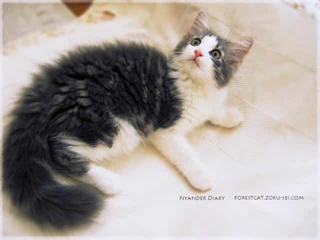 2015年08月30日のよなちゃん_02 ソファーカバーでゴロゴロしながら上を向く子猫