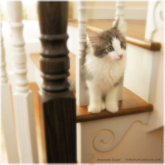 階段の隙間猫 ノルウェージャンフォレストキャット