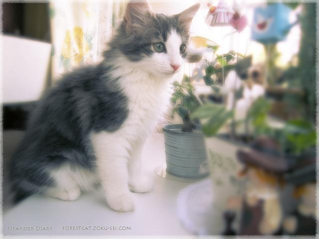 出窓の子猫 ノルウェージャンフォレストキャット