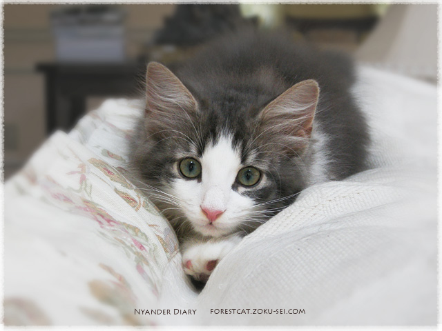 ソファーの溝にはまりたがる子猫 ノルウェージャンフォレストキャット