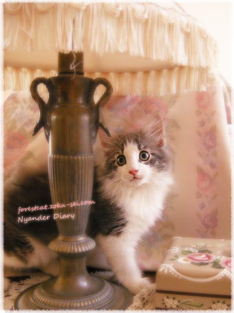 電気の傘の下の子猫 ノルウェージャンフォレストキャット