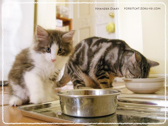 子猫のノルウェージャンフォレストキャットとアメショ