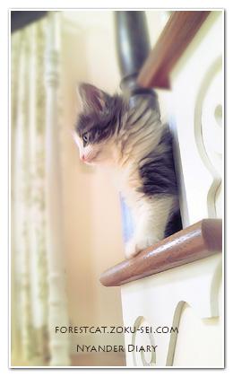 ふわふわ 階段から覗く子猫 ノルウェージャンフォレストキャット