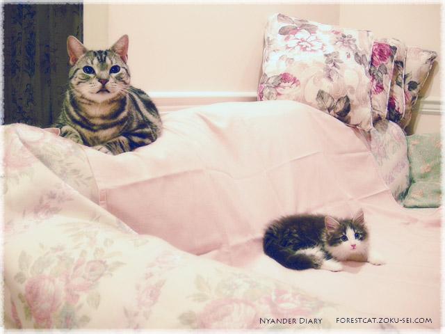 アメショのるなちゃんとノル子猫よなちゃん ソファーの上と下で
