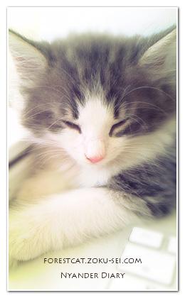 ふんわり写真 眠る子猫 ノルウェージャンフォレストキャット