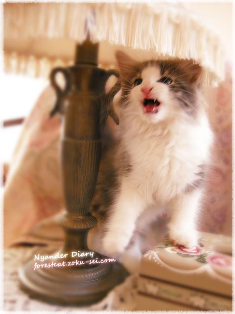 かまってアピールする子猫 ノルウェージャンフォレストキャット