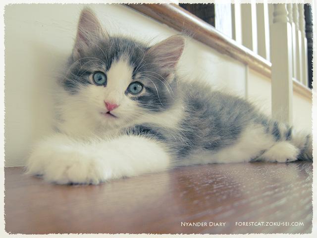 階段の途中にいる子猫 ノルウェージャンフォレストキャット