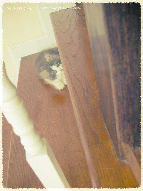 階段の段差から見つめる子猫 ノルウェージャンフォレストキャット