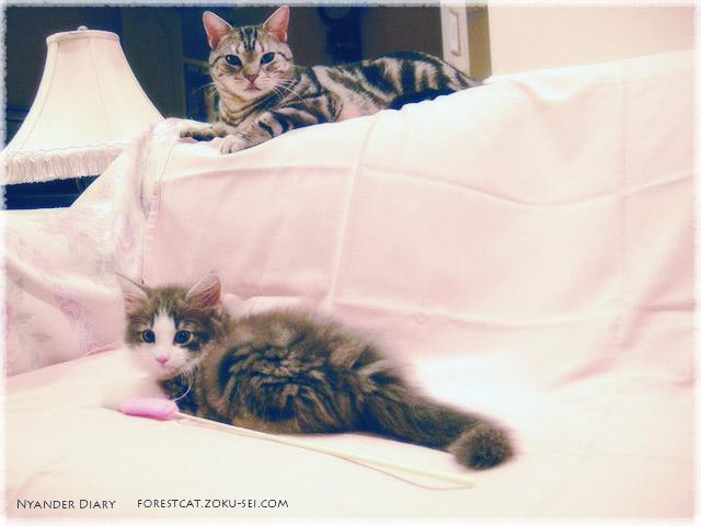 アメショのるなちゃんとノル子猫よなちゃん